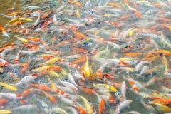 Molto del pesce della carpa nello stagno Immagine Stock