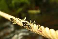Molto farfalla in bianco e nero sulla corda lunga Fotografia Stock Libera da Diritti