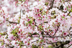Molto fiore di ciliegia Fotografie Stock