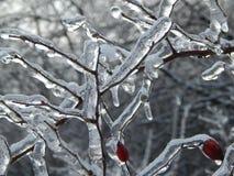 Molto ghiaccio sul rovo Fotografia Stock