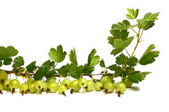 Molto goosenberry su un brunch con i fogli Fotografia Stock Libera da Diritti