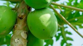 Molto grande papaia che hunging su un albero nell'agricoltura indiana Immagine Stock