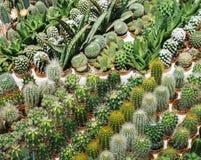 Molto il cactus nel vaso è fila sulla tavola, fiore rosa di specie del cactus, il cactus di mammillaria, succulente Fotografia Stock