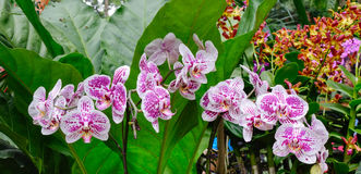Molto il genere di orchidea fiorisce ai giardini botanici a Singapore Fotografia Stock Libera da Diritti