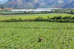 Molto l'agricoltore sta raccogliendo le verdure Fotografia Stock