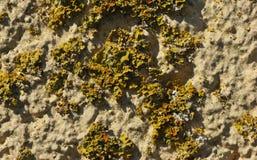 Molto lichene giallo arancione e verde su una vecchia superficie della parete Fotografia Stock Libera da Diritti
