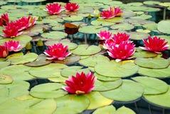 Molto Lilys rosa Fotografia Stock
