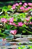 Molto Lotus rosa Fotografie Stock Libere da Diritti