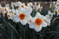 Molto narciso del fiore bianco Immagine Stock