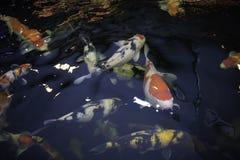 Molto nuotata del pesce di koi nello stagno fotografia stock