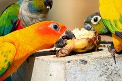 Molto pappagallo gode di di mangiare l'alimento Immagine Stock