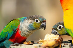 Molto pappagallo variopinto gode di di mangiare Fotografia Stock