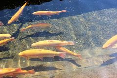Molto pesce di galleggiamento giallo calmo, troticoltura Fotografie Stock Libere da Diritti