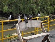 Molto piccione fotografia stock