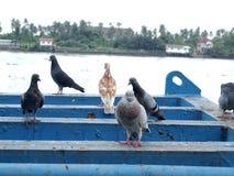 Molto piccione fotografie stock