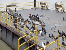 Molto piccione immagine stock