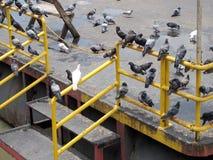 Molto piccione fotografia stock libera da diritti