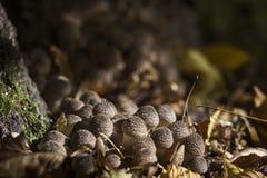 Molto piccolo armillaria dell'agarico del miele - funghi commestibili fotografia stock libera da diritti