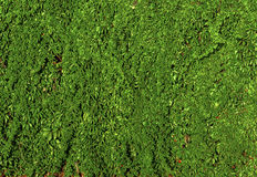 Molto rampicante verde della barriera dell'edera sulla parete del cemento Fotografie Stock Libere da Diritti