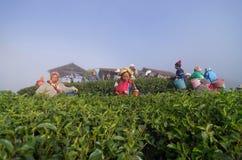 Molto scelta non identificata dell'agricoltore in foglie di tè Immagine Stock Libera da Diritti