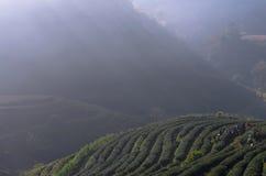 Molto scelta non identificata dell'agricoltore in foglie di tè Fotografia Stock