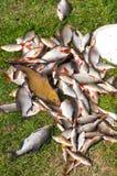 Molto vario pesce Fotografie Stock Libere da Diritti