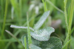 Molto Waterdrops su un Wildflower Immagine Stock Libera da Diritti