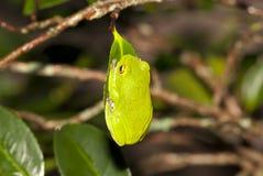 Moltrechtis Green Tree Frog stock photo