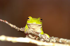 Moltrechtis Green Tree Frog Royalty Free Stock Image