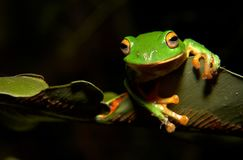 Moltrechtis Green Tree Frog Stock Photos