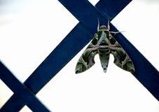 molu motyla resztę nocy Fotografia Stock