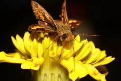 molu motyla resztę nocy Zdjęcia Royalty Free