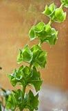 爱尔兰厂或Molucca balmis Shellflower响铃  免版税库存图片