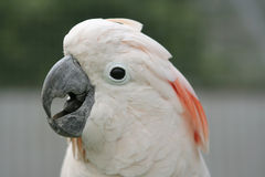 Moluccan Cockatoo Stock Photography