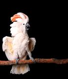 Moluccan Cockatoo With His Royalty Free Stock Image