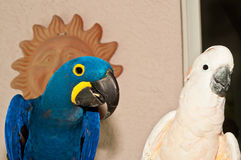 Moluccan cockatoo and hyacinth macaw parrots. Moluccan cockatoo and hyacinth macaw rescued parrots perched in the rescue facility royalty free stock photo