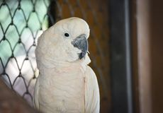 Moluccan Cockatoo. In bird cage at the zoo Royalty Free Stock Photography