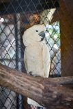 Moluccan Cockatoo. In bird cage at the zoo Royalty Free Stock Photos