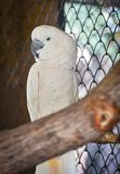 Moluccan Cockatoo. In bird cage at the zoo Stock Image