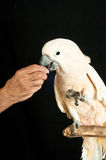 Moluccan cockatoo rescued parrot. Single Moluccan cockatoo rescued parrot perched on a branch and accepting food from the new owner, balanced on one leg at the Stock Photo