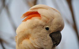 Moluccan kakadu Obrazy Royalty Free