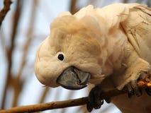 Moluccan kakadua Arkivfoton