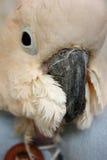 Moluccan kaketoe royalty-vrije stock foto's