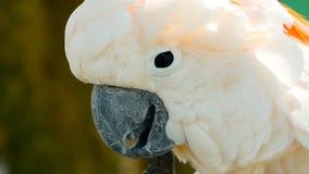 Moluccan o cacatua dell'ombrello Ritratto del pappagallo bianco, uccello endemico esotico alla foresta pluviale tropicale sulle i video d archivio