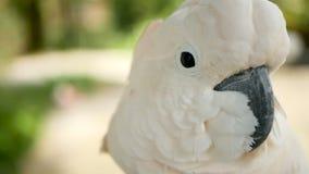 Moluccan o cacatua dell'ombrello Ritratto del pappagallo bianco, uccello endemico esotico alla foresta pluviale tropicale sulle i archivi video