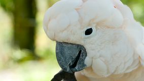 Moluccan of paraplukaketoe Portret van witte papegaai, exotische endemische vogel aan tropisch regenwoud op de eilanden van Indon stock videobeelden