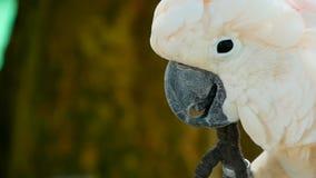 Moluccan of paraplukaketoe Portret van witte papegaai, exotische endemische vogel aan tropisch regenwoud op de eilanden van Indon stock footage