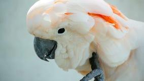 Moluccan of paraplukaketoe Portret van witte papegaai, exotische endemische vogel aan tropisch regenwoud op de eilanden van Indon stock video