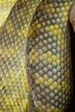 Moluccan Python snake skin Royalty Free Stock Photos