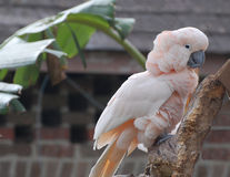 Moluccan (Salmon-crested) Cockatoo Stock Images